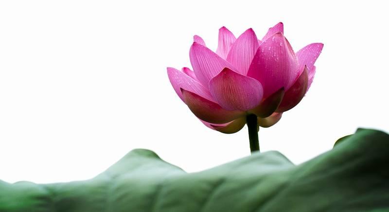 蓮の花 初盆