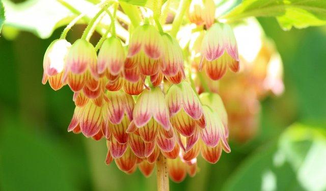ドウダンツツジの花房