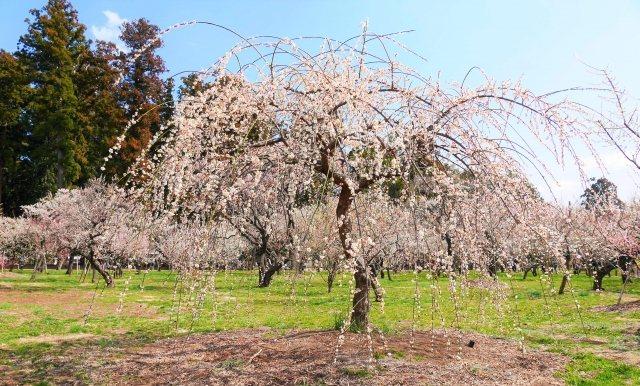日本三大名園の偕楽園の梅