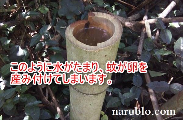竹の切り株に水がたまった状態。蚊が発生する