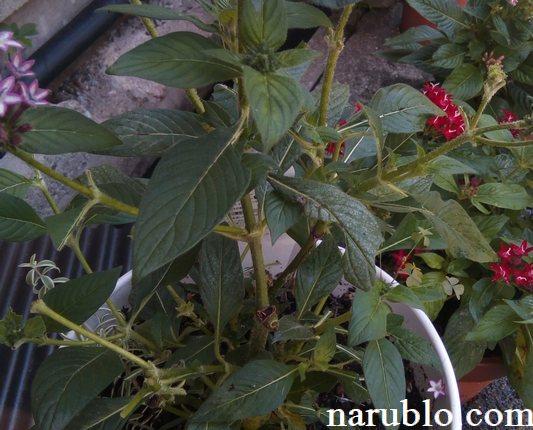 ペンタスが害虫である芋虫によって食い荒らされる