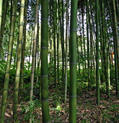 竹やぶを整備する、かれた竹の除去