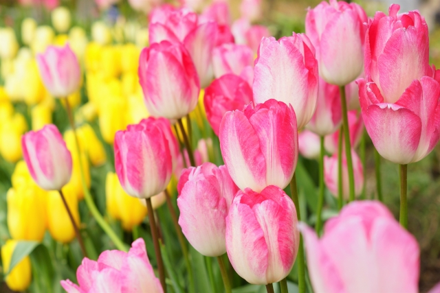 綺麗なチューリップの花を咲かせるには、球根選びから