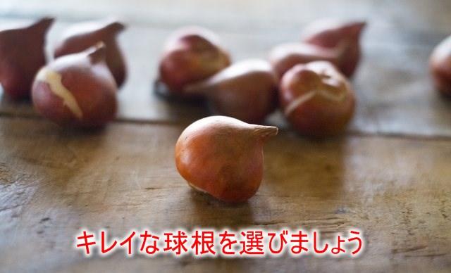 綺麗なチューリップの球根を選ぼう。選んではいけない球根とは?