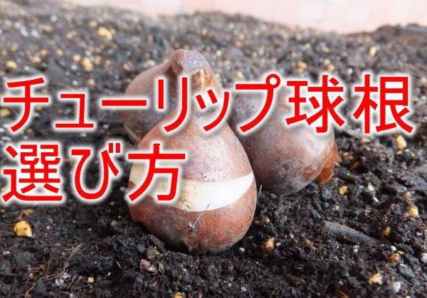 チューリップの球根の選び方と注意点